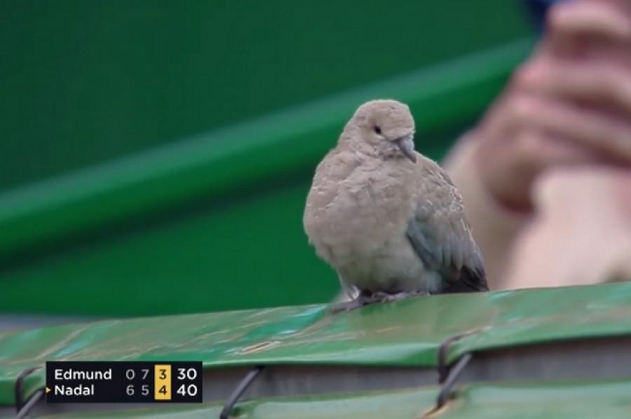 Další zvířecí divák? Zápas Edmunda s Nadalem si vyhlédl holub